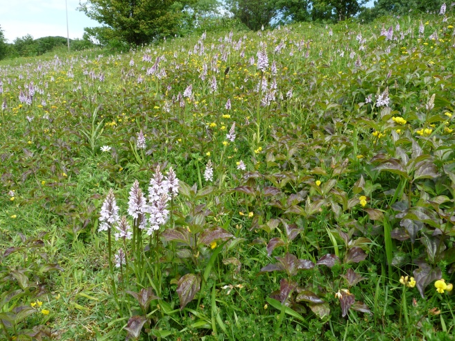 It is spectacular at this time of year; even driving past you can see the pink flower spikes of the orchids.