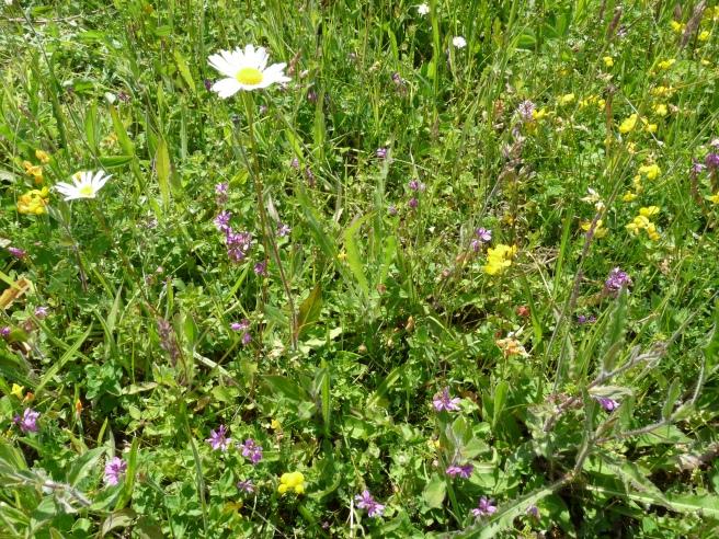 Milkwort, oxeye daisy, bird's-foot-trefoil