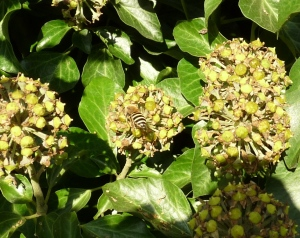 Ivy bees have only recently been found in Britain, and are spreading across the South.