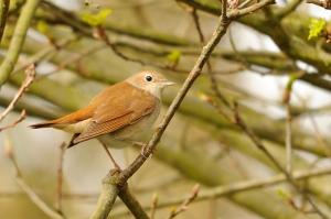 Nightingale © Amy Lewis
