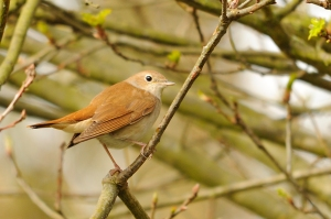 Nightingale © Amy Lewis