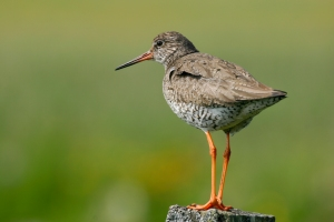 Redshank © Tom Marshall