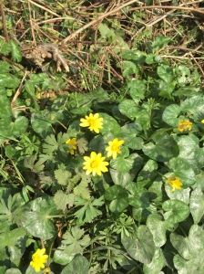 Lesser celandine by a hedge in Kent