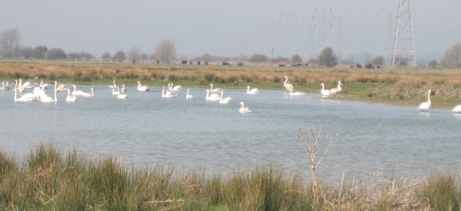swans on wetland at Ash Levels