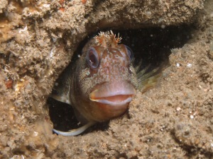 Tompot blenny in Dover to Folkstone Marine Conservation Zone