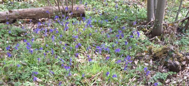 Bluebells at Thornden wood in the Blean