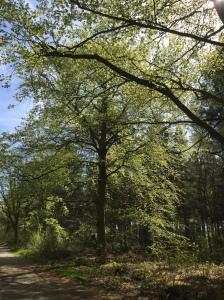 Thornden Woods in spring