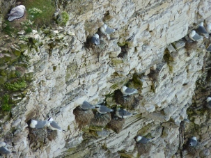 Nesting Kittiwakes with chicks at Flamborough head