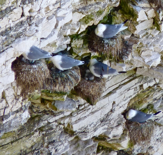Kittiwakes and chicks in nest on cliffs