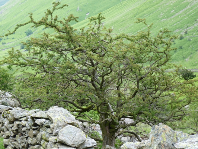 A very old Hawthorn