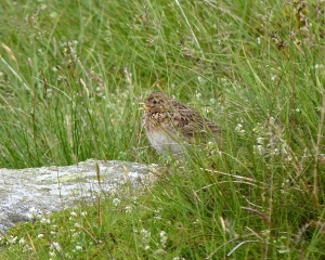 Skylark (photo credit Geoff Woolley)