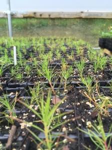Scots pine seedlings