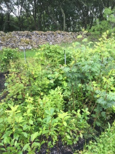 Young native Scottish trees, ready for planting