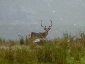 Red deer in Scottish Highlands