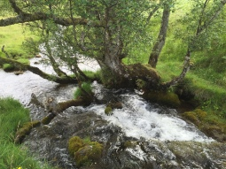Willow over cascading burn