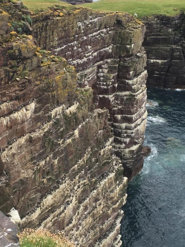 Handa seabird cliffs with guillemots