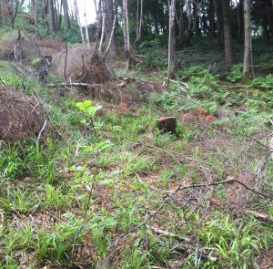 Forestry - plantation clearing to allow regeneration of native trees