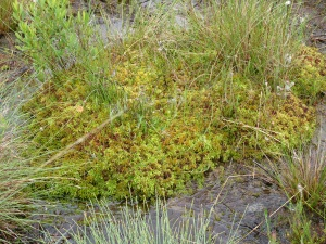 Sphagnum moss mound