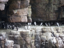 Guillemots on a ledge