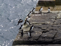 Razorbills on rocks at Handa island