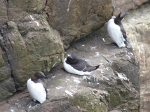 Guilimots and razorbill