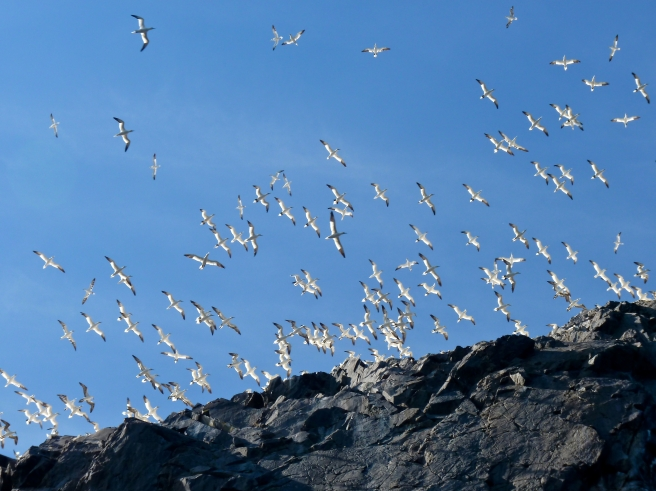 Swirling clouds of gannets