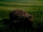 Hedgehog on Anglesey