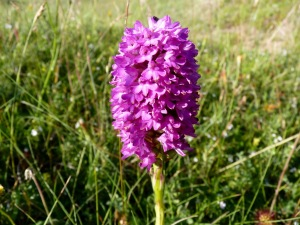 As I'm still learning, I'm not entirely sure about this one, which Geoff photographed at Lindisfarne. I think it might be a Common Spotted Orchid hybrid - any advice welcome.