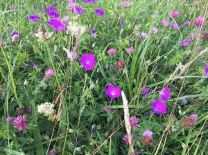 Flower rich grassland with bloody cranesbill