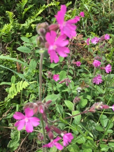 Red campion in the hedgerows