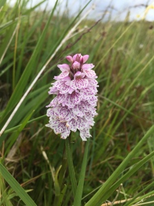 Heath spotted orchid in Scotland
