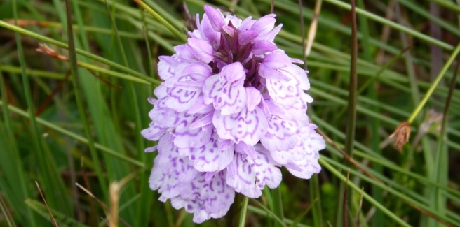Heath spotted orchid crop