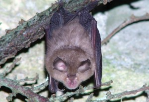 Lesser horseshoe bat (image Janice Whittington)