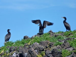 A cormorant drying its wings