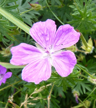 Bloody cranesbill, Northumberland's county flower