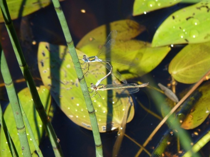 mating damsel-flies