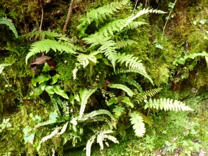 Ferns and moss in the damp woodland