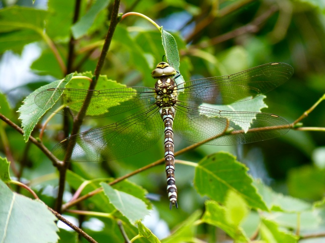 Southern hawker dragonfly (male)