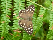 Speckled wood butterfly