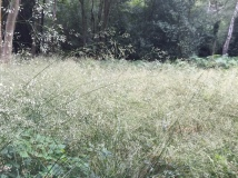 Tufted hair grass in a woodland glade