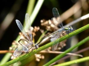 Female and male emerald damselfly