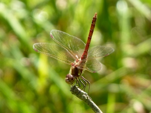 male common darter dragonfly