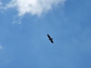 Buzzard in the sky above Bissoe Valley