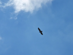Buzzard in the sky above Bissoe Valley