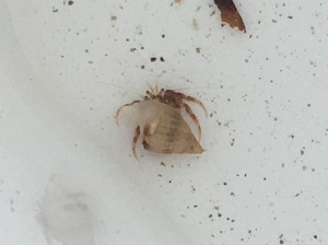 A tiny hermit crab