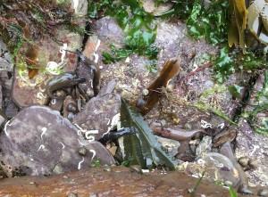 Cornish suckerfish under a rock