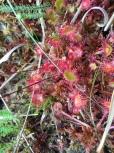 Round-leaved sundew