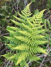 Not sure what this fern is, I thought maybe Buckler fern. Any ideas?