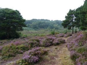 Heather in the valley of Bystock, Devon Wildlife Trust