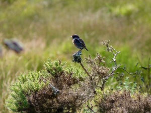Stonechats are common at Bystock